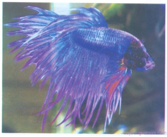 Loại Crowntail
